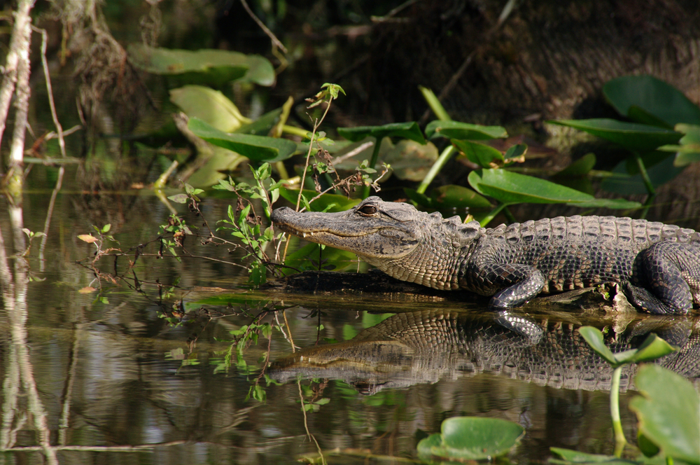 An alligator in the Everglades National Park in Florida, a must visit place in the South.