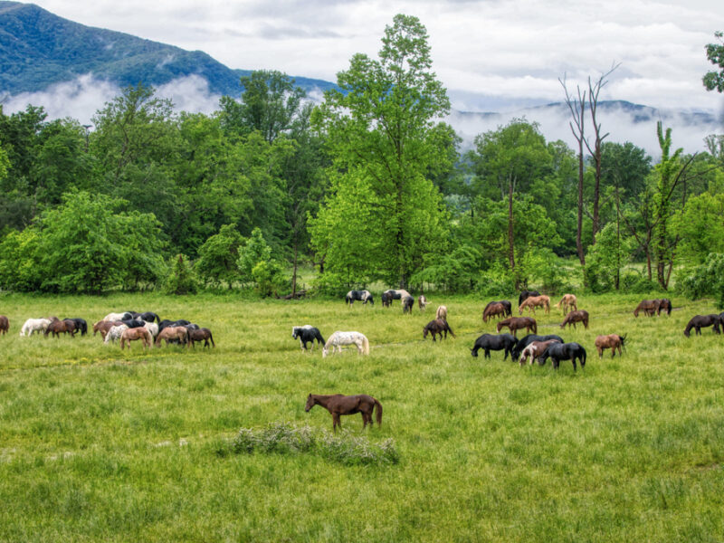 Horses graze in a lush green field in Tennessee.