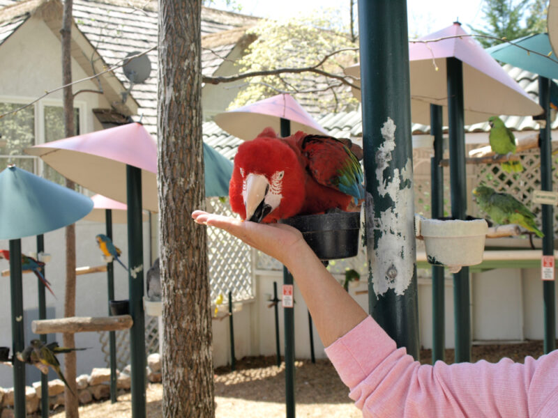 A red macaw parrot feeds out of the hand of a woman.