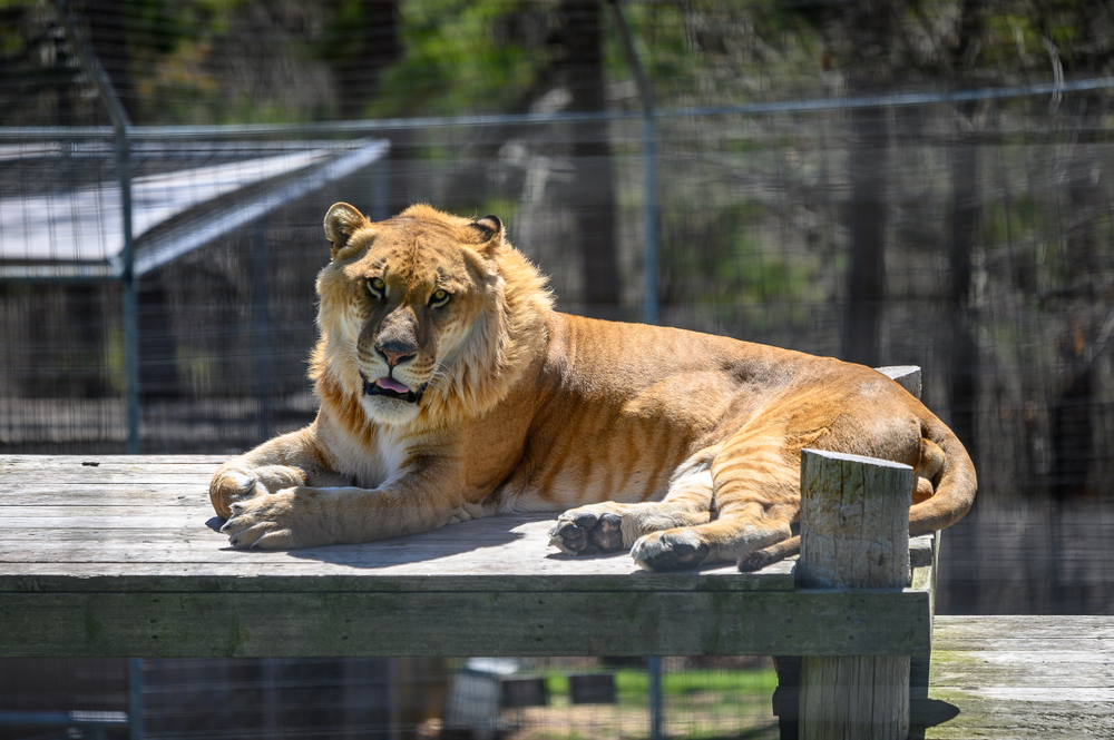 A liger at the Turpentine Creek Wildlife Refuge.