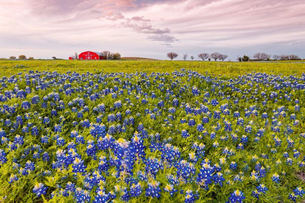 Bluebonnets in Texas bloom in the fields surrounding a red barn in Brenham.