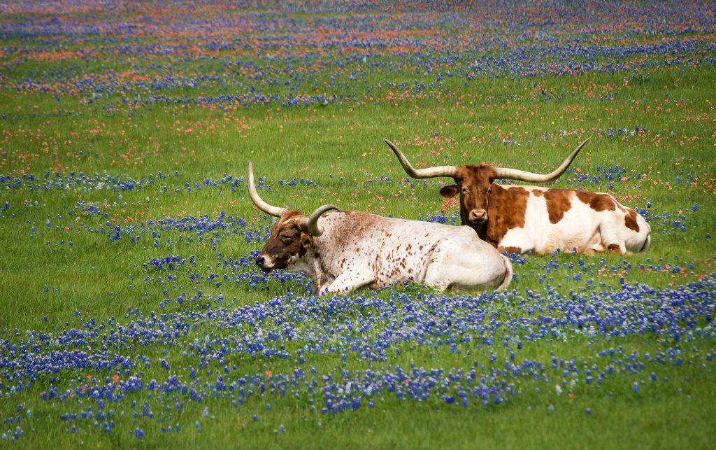 Texas cattle lie in a field covered by bluebonnets.
