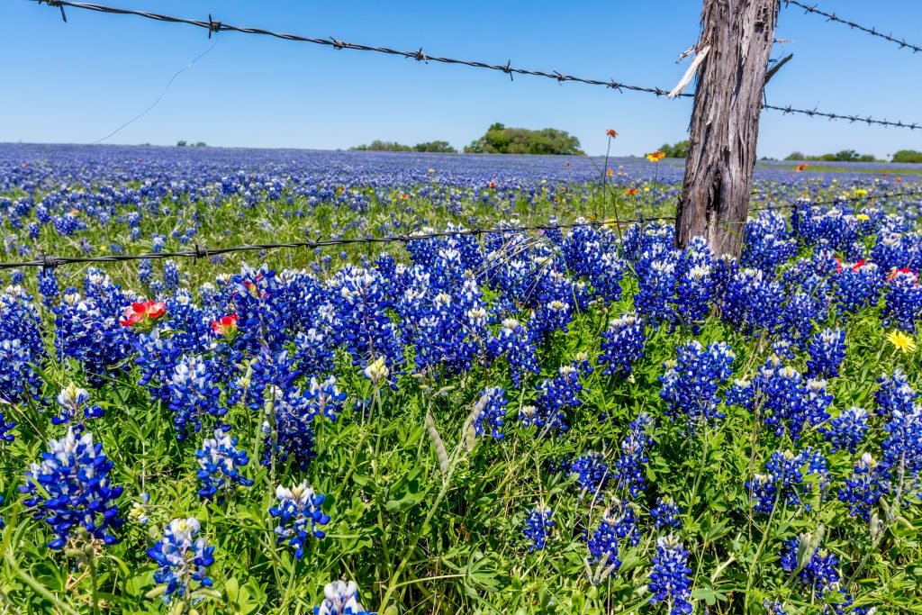Bluebonnets offer a stark contrast as they bloom next to a barbed-wire fence.
