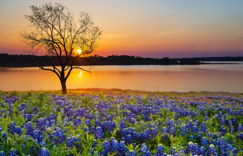 Bluebonnets bloom next to a lake in Texas.
