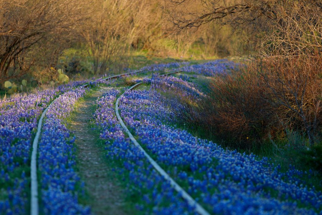 Bluebonnets in Texas grow over an abandoned railroad track in Kingsland.