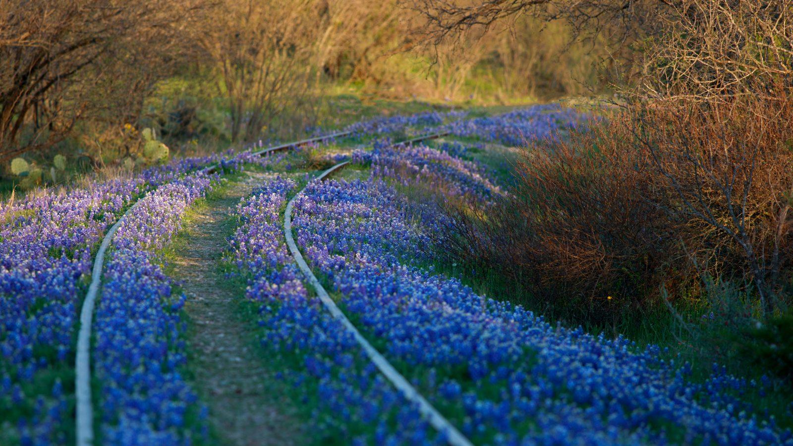 Bluebonnets grow over abandoned railroad tracks.