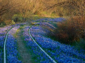 Bluebonnets grow over abandoned railroad tracks.