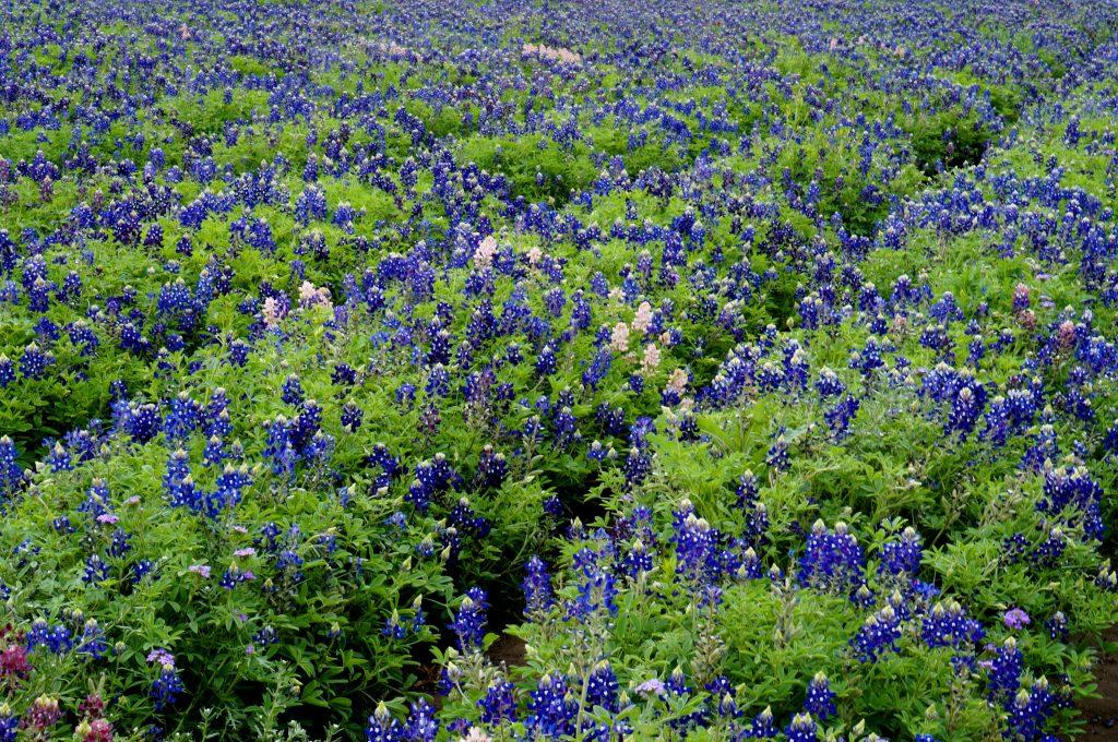 Bluebonnets grow in organized fields at the Lady Bird Johnson Wildflower Center.