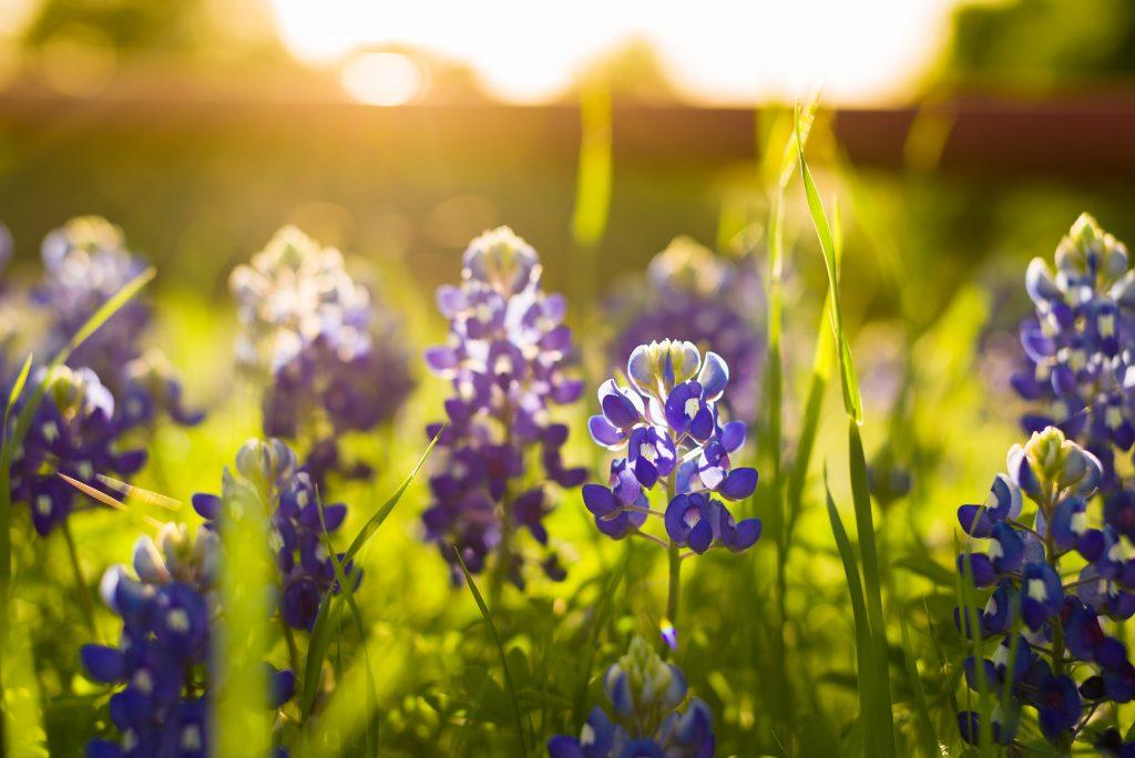 The sun rises and illuminates bluebonnets in Texas.