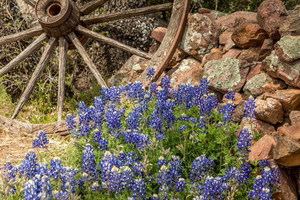 On the Willow City Loop, bluebonnets in Texas bloom next to a wagon wheel.