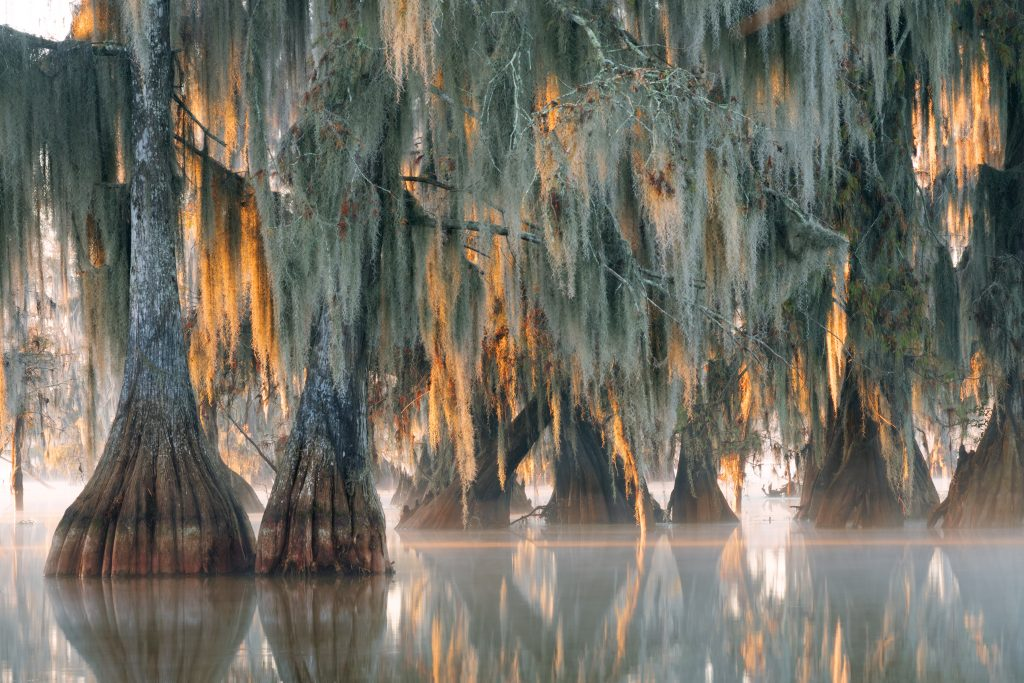 Bald Cypress trees hover over the water in Lake Martin.