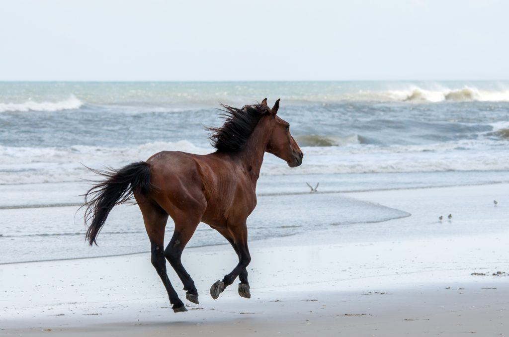 A wild Spanish mustang runs on the beaches of North Carolina.