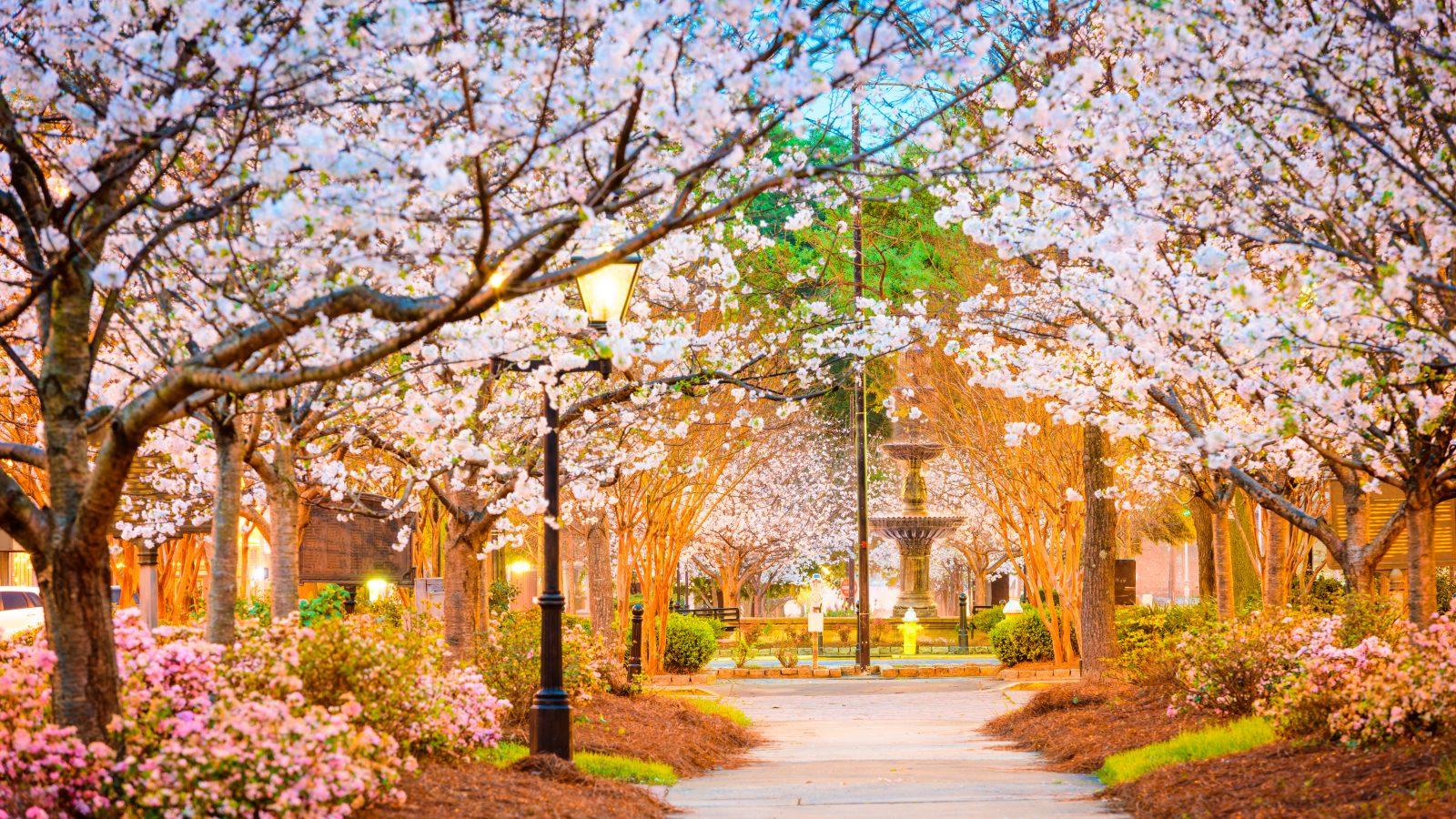 cherry blossoms in macon georgia