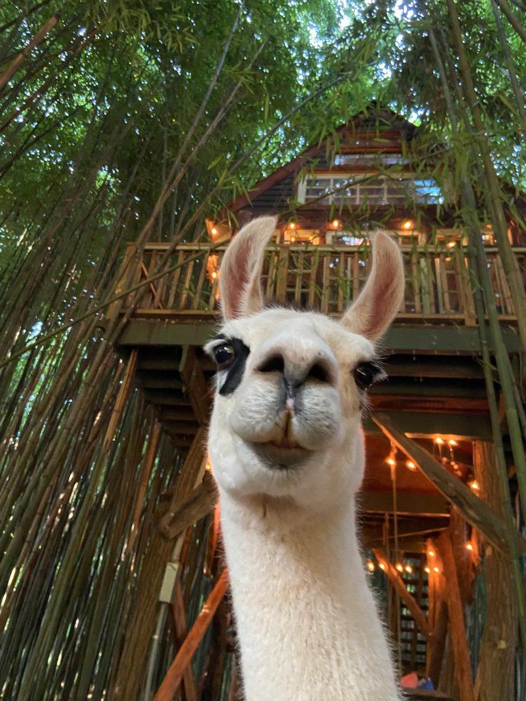alpaca treehouse