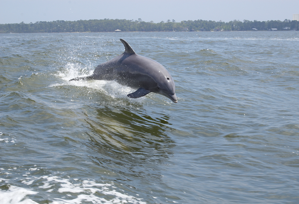a photo of dolphins during an eco tour one of the top alabama getaways