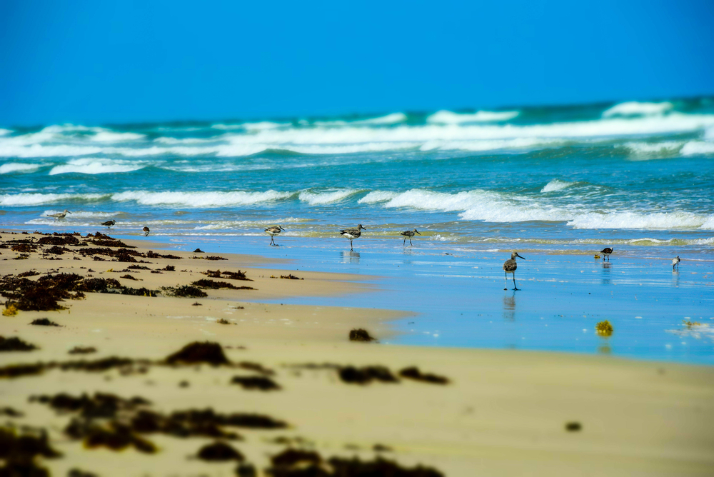 A photo of birds on Malaquite Beach. One of the prettiest beaches in Texas with clear water.