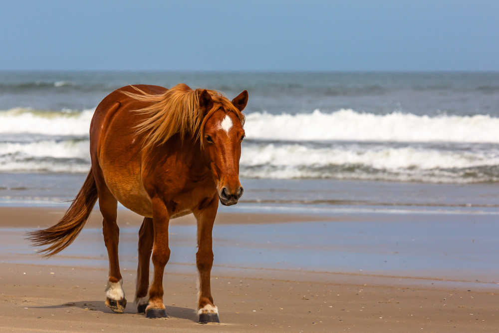 Spotting wild horses is something you can do in North Carolina.