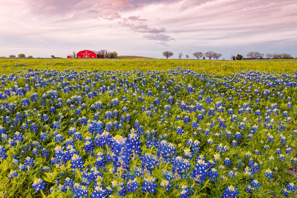 Photo of a field of bluebonnets. Bluebonnet sightseeing is one of the best weekend getaways in Texas.