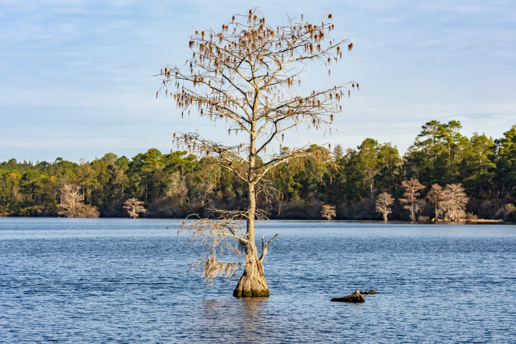 A tree stands in Singletary Lake.