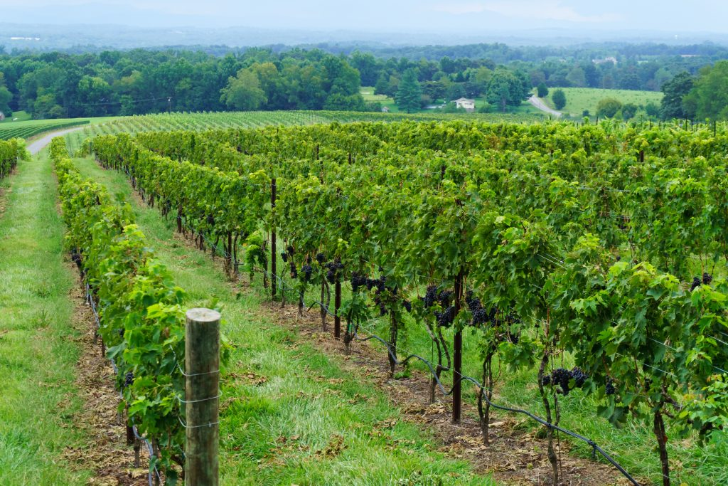 One of the many vineyards perfect to see on a North Carolina Road Trip.