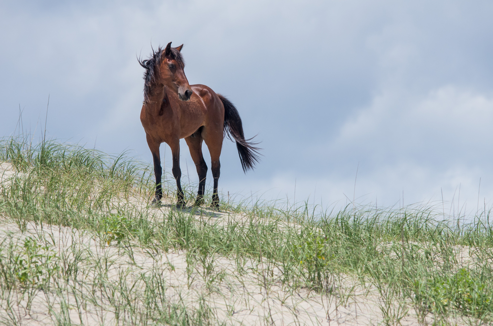 Photo of a wild mustang in the Outer Banks.