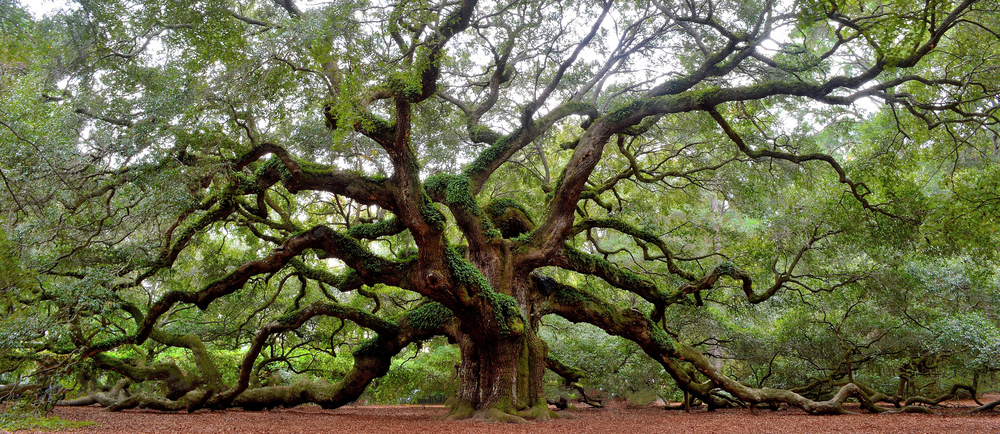 The famous Angel Tree, a massive 400 year old Oak Tree in Charleston South Carolina. It has large branches that are reaching out and laying on the ground, covered in leaves.