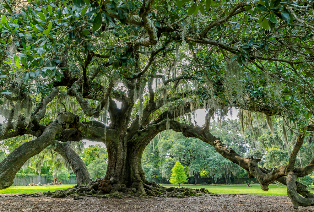 One of the historic oak trees that lives in New Orleans
