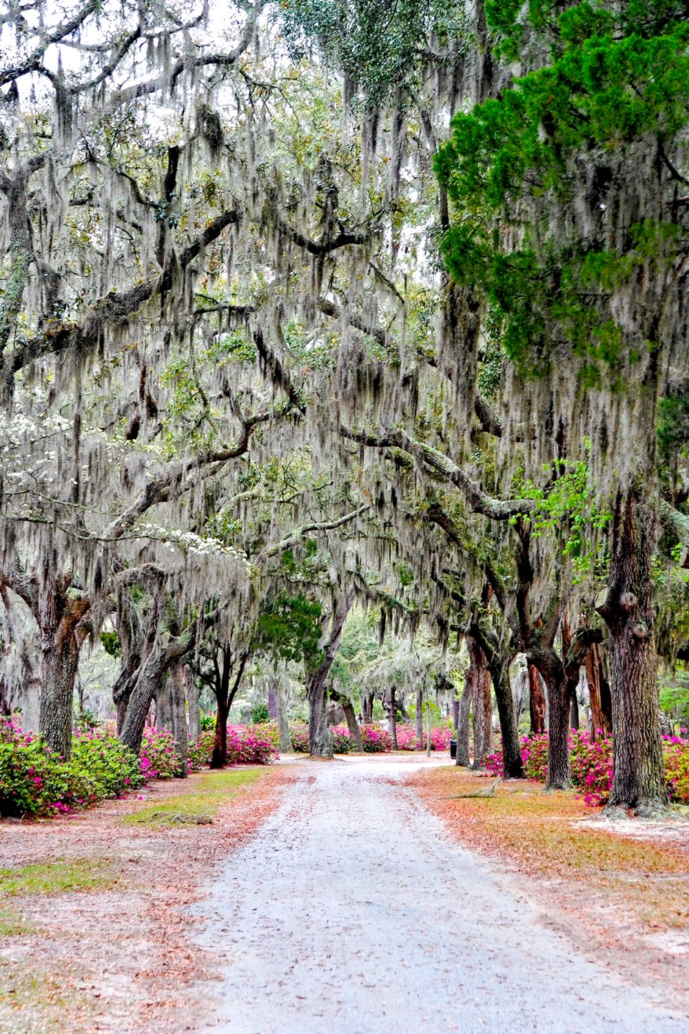 A dirt road surrounded by trees covered in Spanish moss in the Bonaventure cemetery. Between the trees there are large shrubs covered in bright pink flowers. Its one of the best Savannah photo spots.