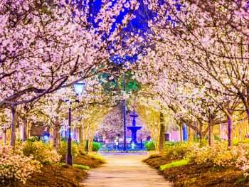 Cherry Blossoms cover a pathway in Macon, GA.