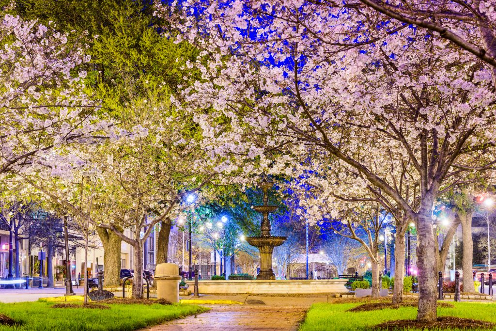 A pathway in Macon, one of the best day trips from Atlanta, is covered by blossoming Cherry Blossoms.