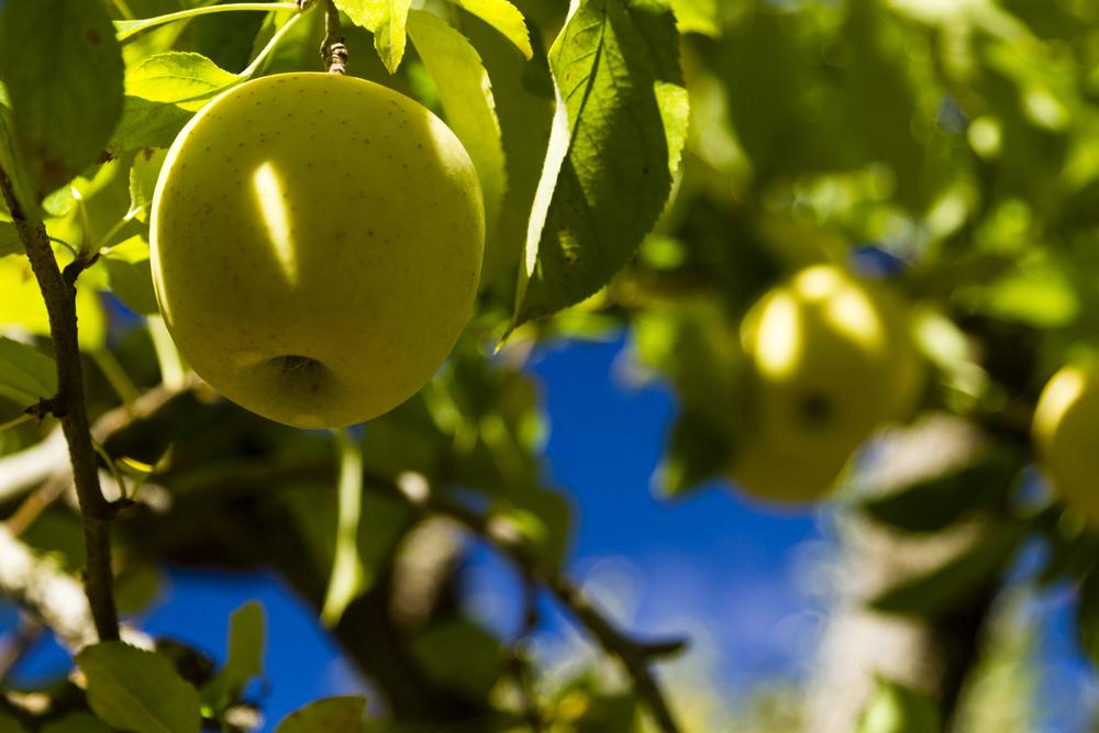 A photo of a crisp green apple growing on an apple tree.