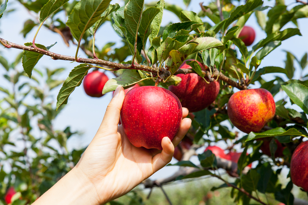 A picture of a hand picking a red apple off of an apple tree.