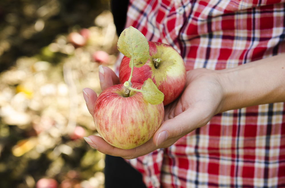 A photo of a person wearing a red plaid shirt holding two red and yellow apples.