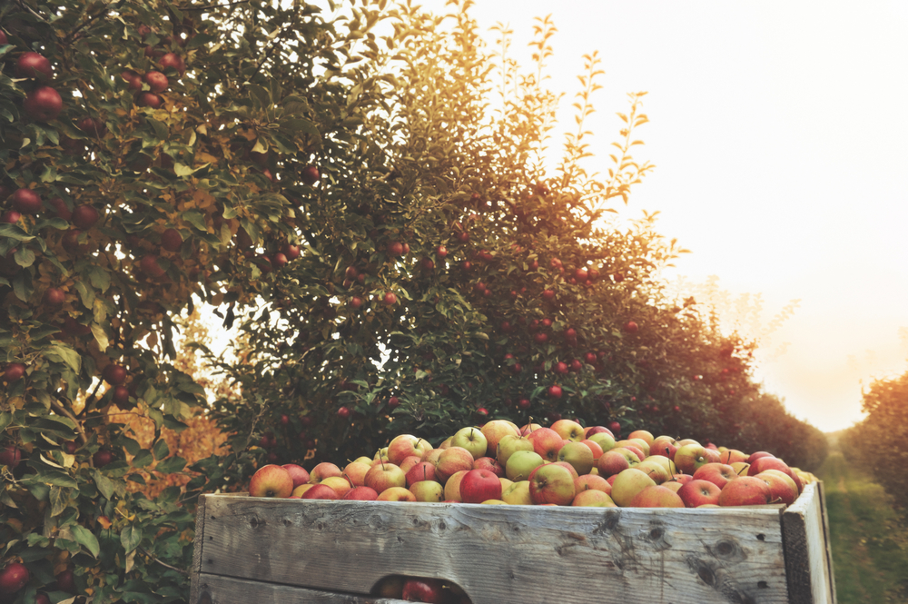 A photo of a wooden crate full of green and red apples in front a row of apple trees at sunset.