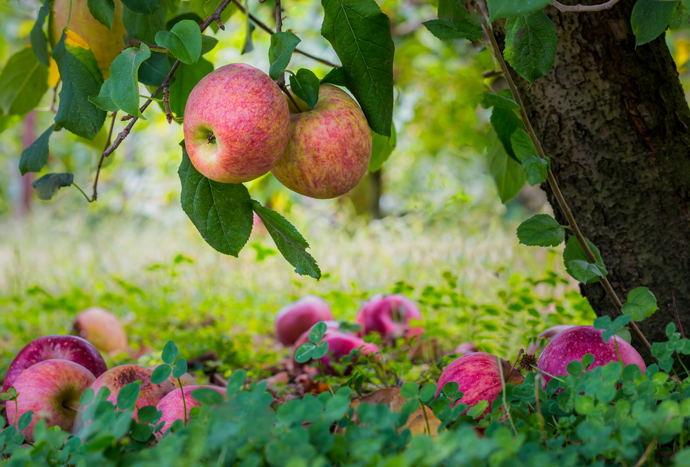 A picture of  2 pink hued apples hanging over the apples that have fallen on the ground.