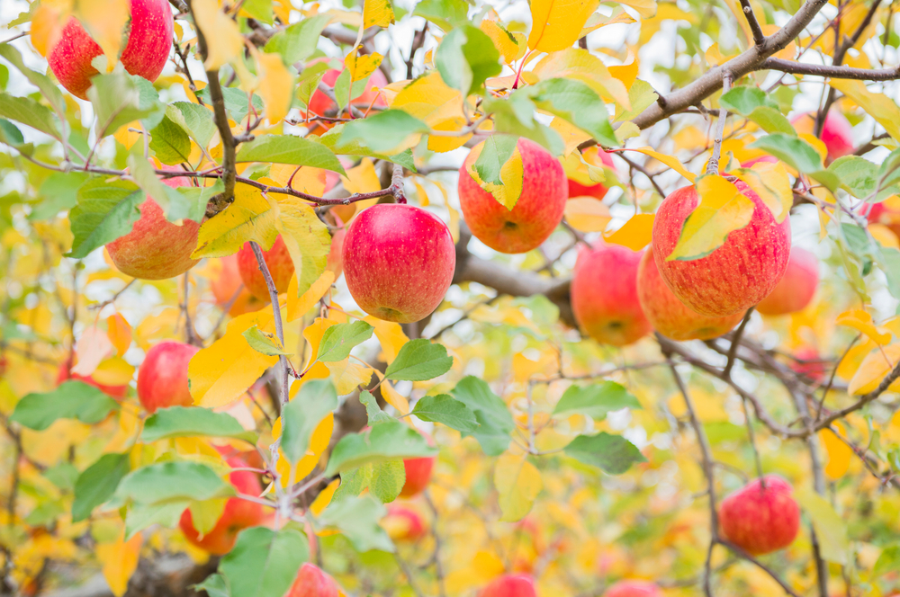 A photo of red and yellow apples hanging from the branches of a tree with autumn colored leaves.