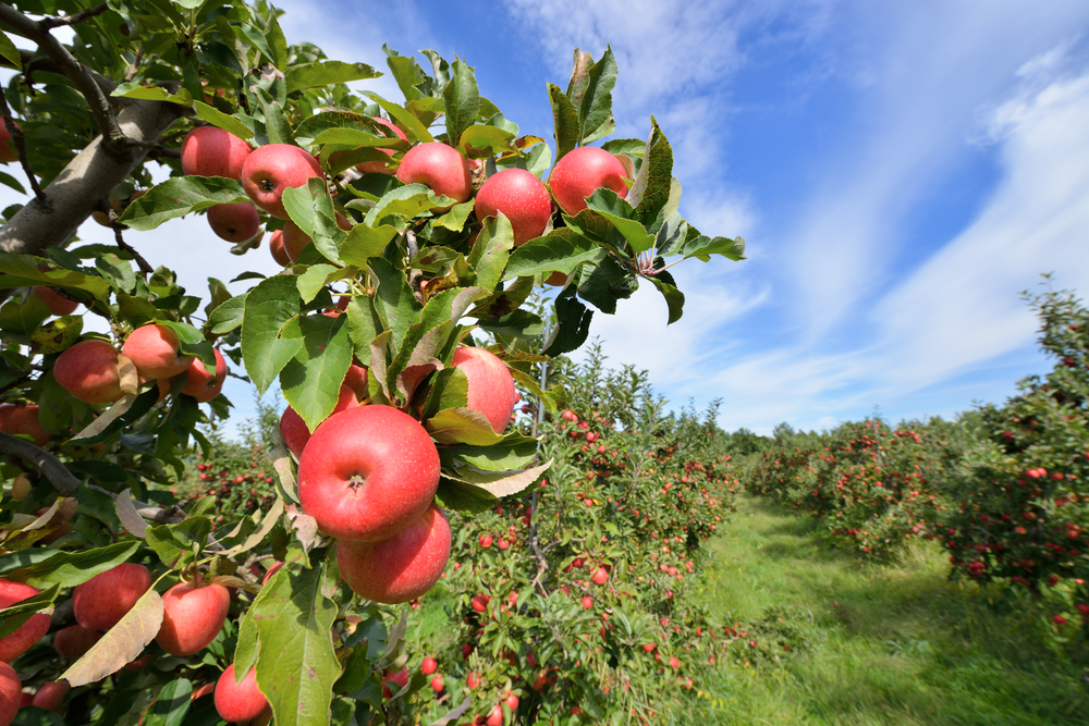 A picture of rows of red apples growing in an apple orchard on a sunny day.