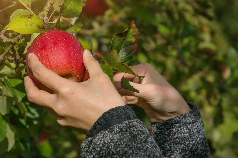 A picture of two hand picking a red apple on a tree in an orchard.