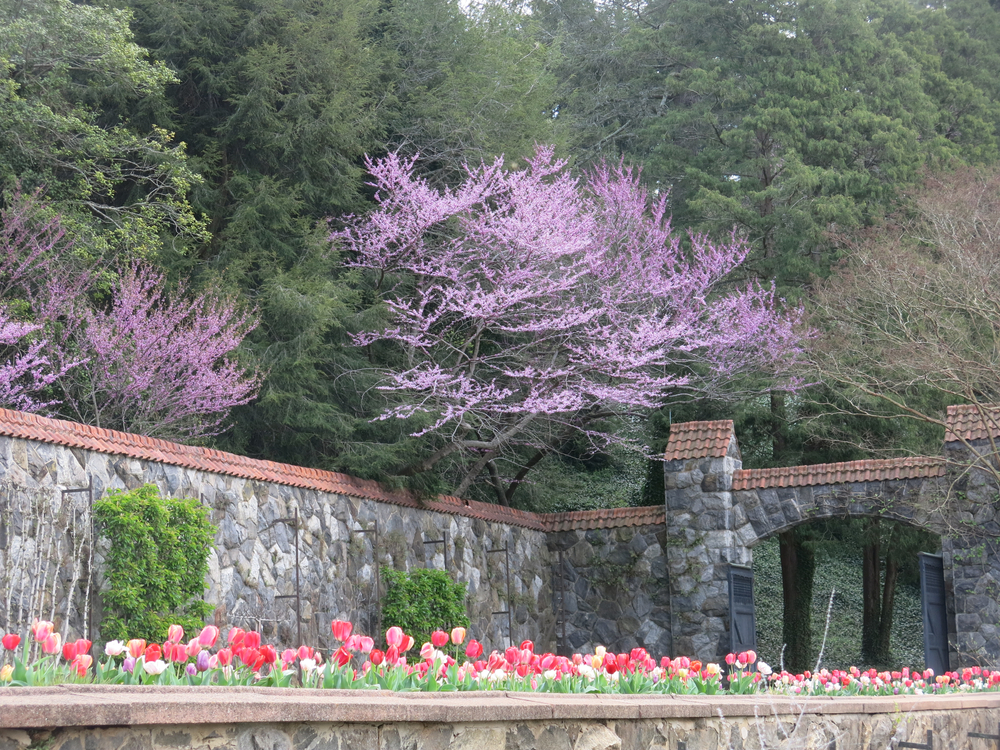 The Biltmore gardens in the spring with tulips and cherry blossoms next to a rock wall. The tulips are red, white, pink, and purple.
