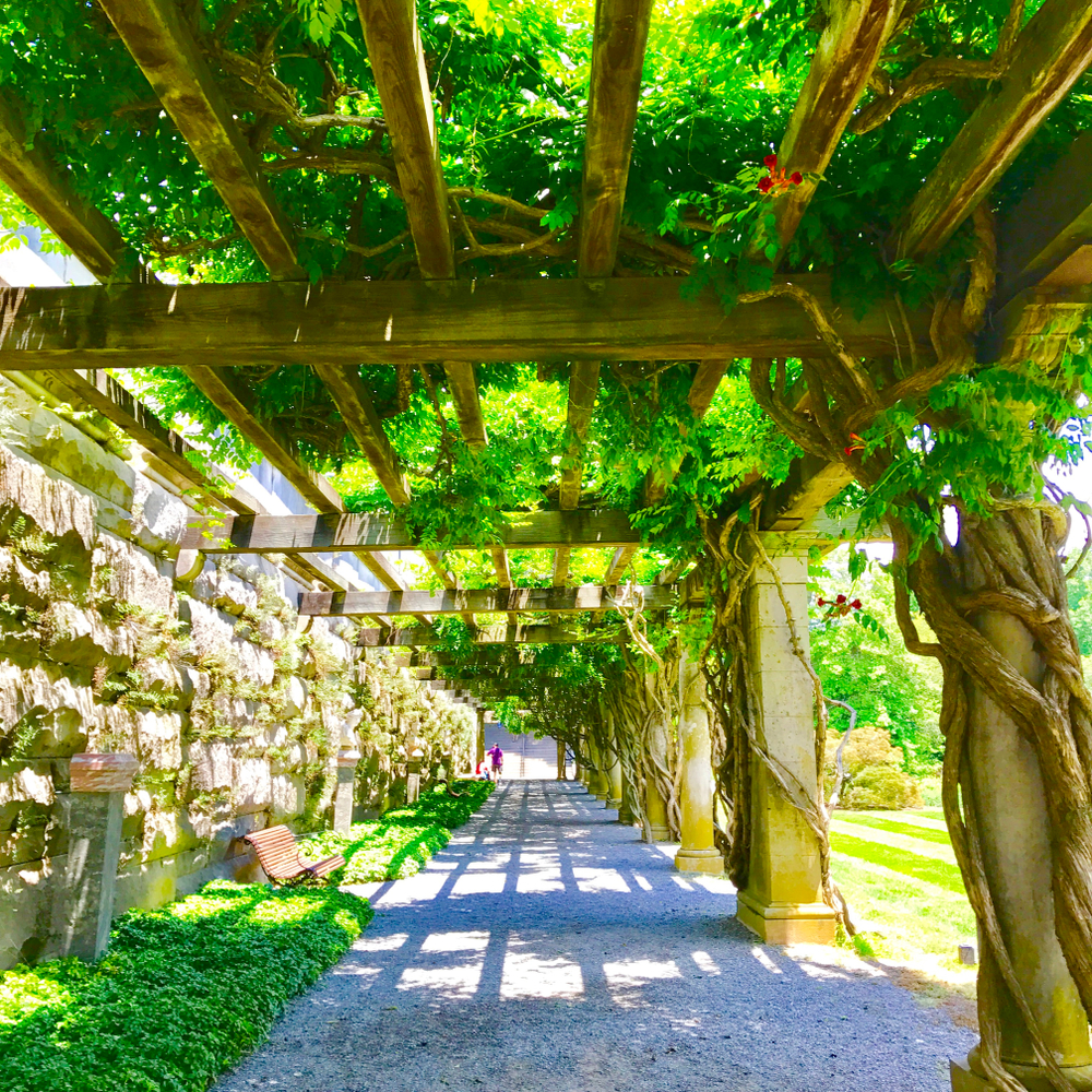 The vine tunnel on the grounds of the Biltmore Estate. it has a pebble path and there are benches you can sit at. The leaves on the vine are green and there are a few red flowers on it. It connects to a stone wall covered in moss.
