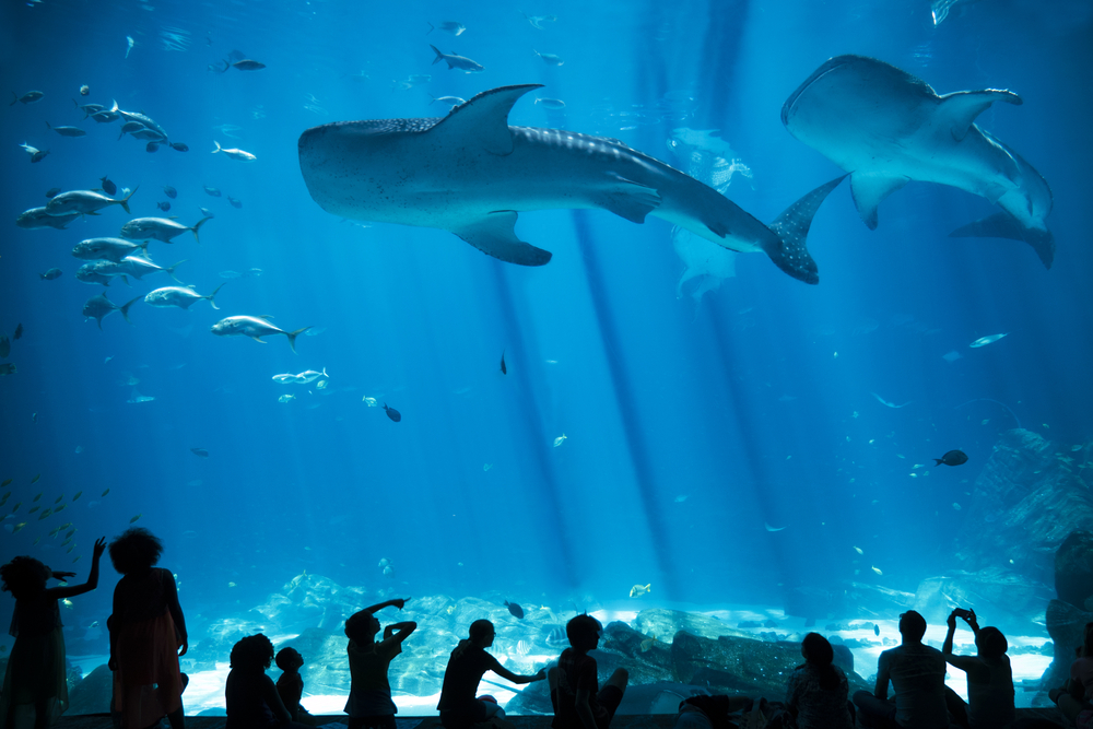 Inside the aquarium you can see a viewing tank where whale sharks swim overhead