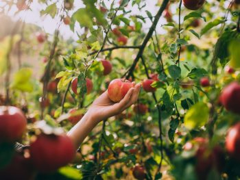 Apple picking in North Carolina is the perfect fall activity