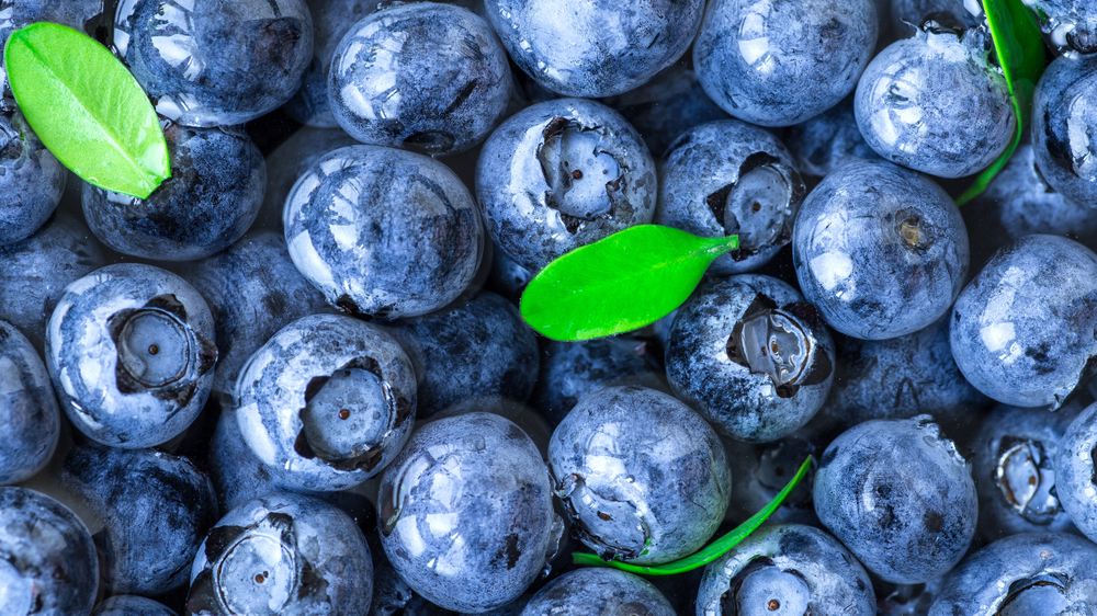 A close up view of fresh blueberries with sprigs of green leaves show that Moorhead's Blueberry Farm is one of the tastiest things to do in Conroe.