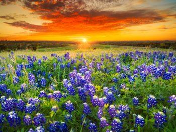 A field of bluebonnets is bathed in an orange sunset.