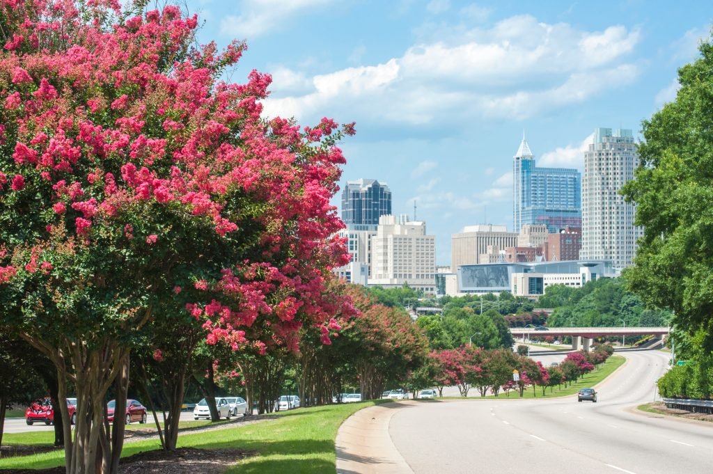 Crepe Myrtle trees line the road to downtown Raleigh in North Carolina.