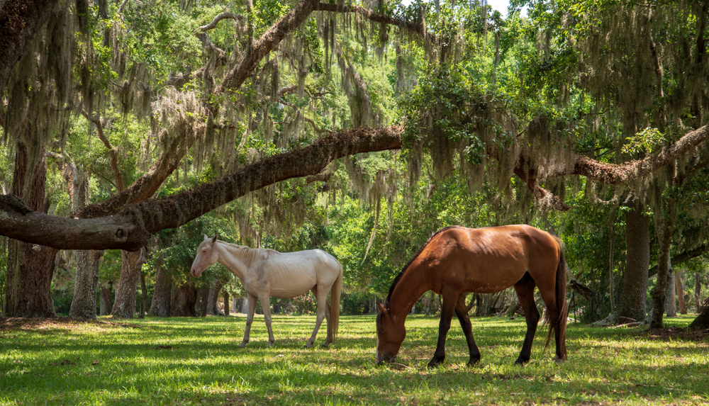 Two horses, one that is brown and one that is cream, nibbling on grass under live oak trees covered in Spanish moss. They are wild horses on Cumberland Island.