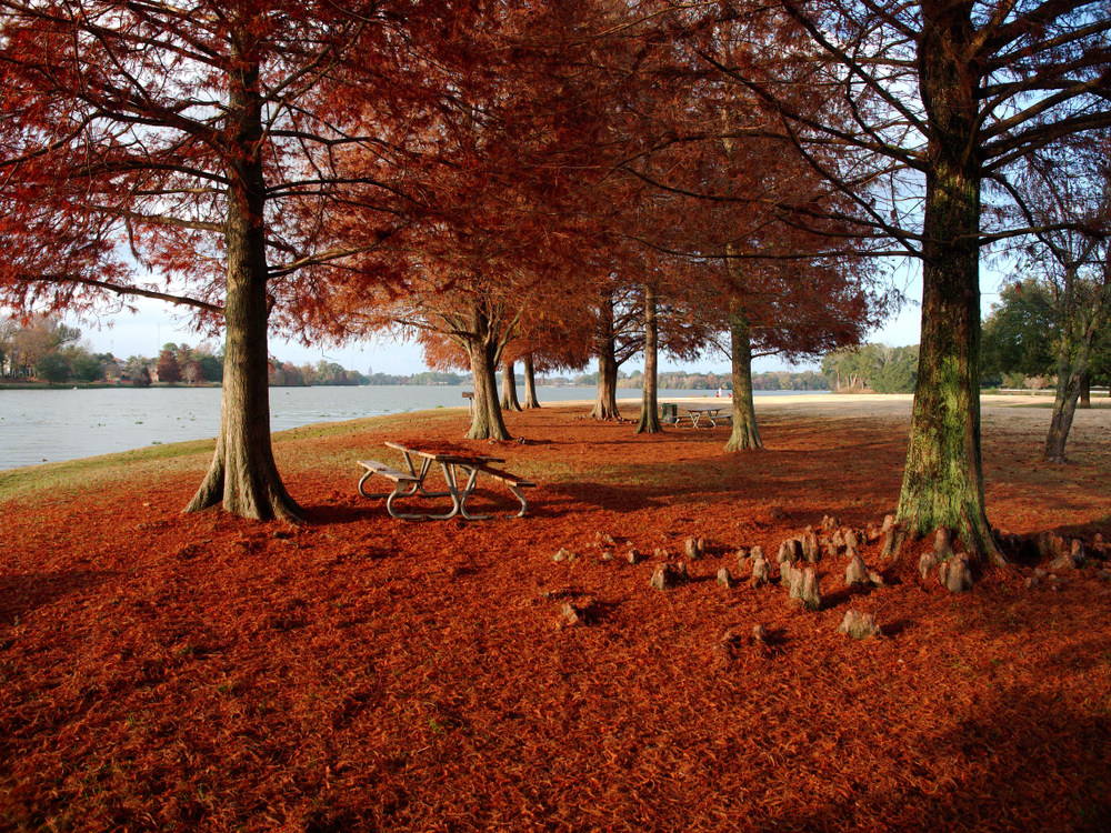 Cypress Trees with red leaves on the floor around a lake