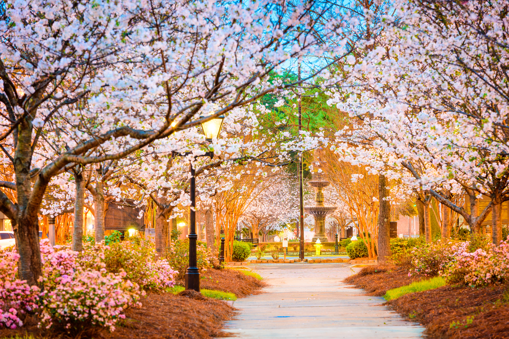 Looking down a street in Macon that leads to a large fountain. On either side of the street are large Cherry Blossom trees in full bloom. Under the trees are shrubs with pink flowers.