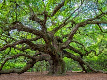 Angel oak in south carolina with green leaves