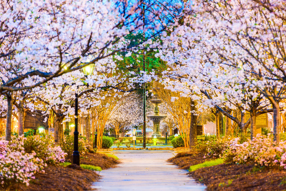 Cherry blossom trees in full bloom flanking a sidewalk in Macon, Ga.